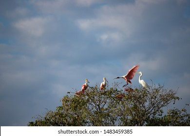 A flock of birds perching on the top of a wetland tree. Great egrets, Spoonbills and Wood storks. Pantanal Brazil landscape. Coexistence concept.