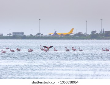 Flock of birds pink flamingo on the background of a airplanes in the airport. The salt lake in the city of Larnaca, Cyprus.