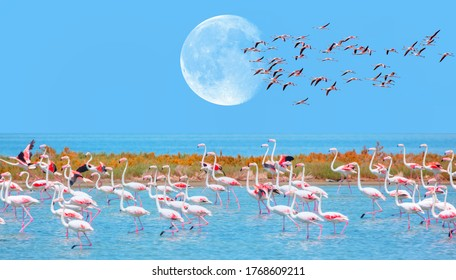 """Flock of birds pink flamingo runing on the blue salt lake of Izmir bird paradise - Izmir, Turkey - Greater Flamingos in the blue sky with full moon """"Elements of this image furnished by NASA"""""""