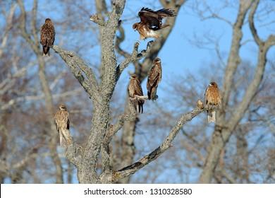 Flock of birds of prey. Black kites, Milvus migrans, sitting on tress in the winter forest. Lot of birds in the nature habitat, Hokkaido, Japan, Asia. Wildlife behavior scene in Japan.