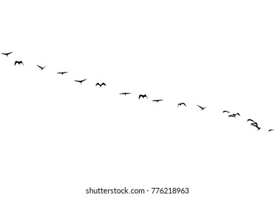flock of birds with white background