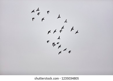 flock of birds in winter sky