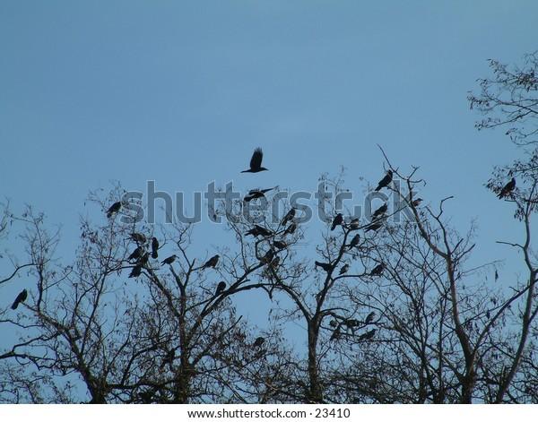 flock of black crows