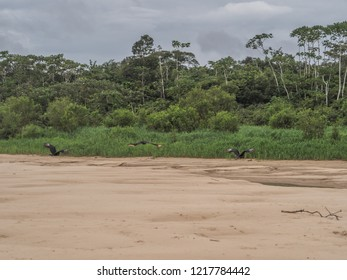 Flock of black vulture, on the beach the Amazon  jungle. Brazil. Latin America. Also known as the American black vulture, is a bird in the New World vulture family, Coragyps atratus