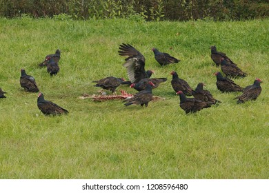 flock of black vultures feasting on a deer  carcass