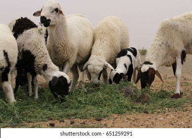 A flock of black and white dorper sheep grazing in an arid field of the Sahara Desert near Merzouga in Morocco.