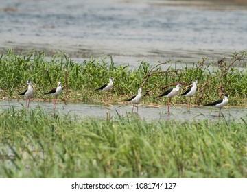 Flock of black winged stilt avocet wild birds himantopus himantopus wading amongst river reeds with rural background landscape