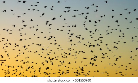 Flock of blackbirds at sunset. Brazos Bend State Park, Texas.