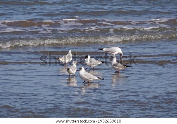 Flock of black-headed gulls (Chroicocephalus ridibundus) in the shallow water of the sea.