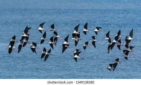 Flock of Black-necked Stilts (Himantopus mexicanus) flying over the San Diego National Wildlife Refuge Complex in South San Diego Bay.