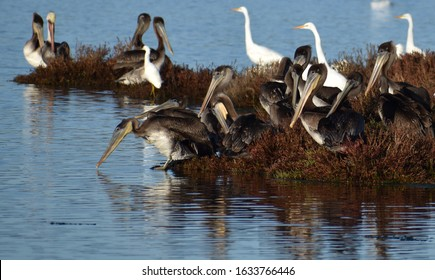 A flock of brown pelicans (Pelecanus occidentalis) mingle with other birds on a small island in Elkhorn Slough, near Watsonville, California.
