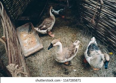 Flock of brown swan geese, Anser Cygnoides, with black beaks and orange feet behind wattle fencing