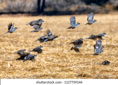 Flock of California quails taking flight over dry meadow; selective focus.