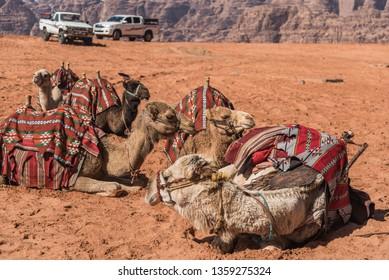 A flock of camels in Wadi Rum, Jordan