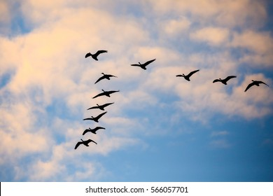 Flock of Canada geese (Branta canadensis) flying in a V formation in a November sky.