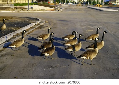 A flock of Canada Geese crossing a road
