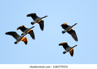 Flock of Canada Geese in flight on blue sky, late afternoon sunlight.