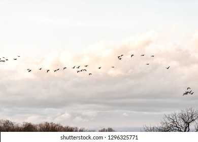 Flock of Canada geese flying above bare forest in winter during sunset or sunrise with clouds near Lake Fairfax in Reston, Virginia