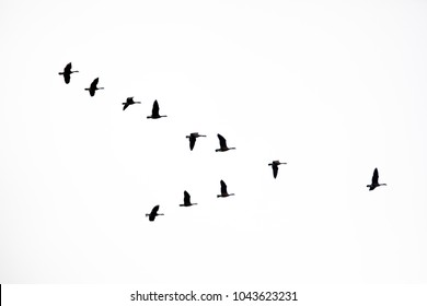 Flock of Canada Geese flying in a V formation on white.
