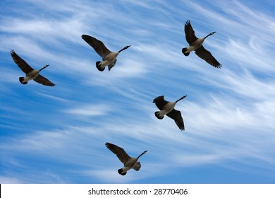 Flock of Canada Geese in V formation during spring migration, in silhouette against a cloudy sky.