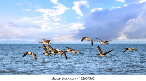 Flock of Canadian Geese flying low over the water of the Chesapeake Bay in Maryland