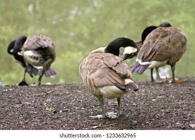 A flock of Canadian geese rest on the ground by the edge of a murky pond