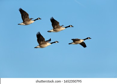 Flock of Canadian geesein flight