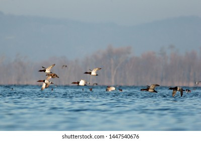A flock of Canvasbacks flies low over the Upper Mississippi near Ferryville WI during spring migration. (Rejected first for noise.  Cleaned that. Then rejected for dust/static.  Cleaned that up.)