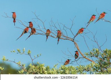 flock of carmine bee eaters, group of bee eaters perched on tree, attractive scene with many bee eaters