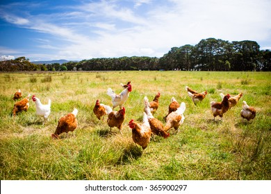 A flock of chickens roam freely in a lush green paddock near Clarkefield in Victoria, Australia