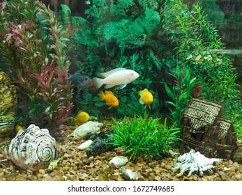 A flock of colorful fish in the aquarium. Algae and several fish. Beautiful multi-colored fish in the aquarium.