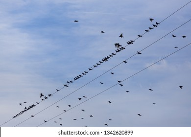 Flock of Common Starling (Sturnus vulgaris) on electricity wires. A lot of birds flying around wires