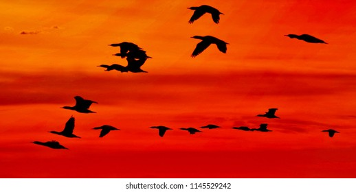Flock of Cormorants at sunrise flying away
