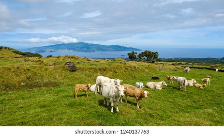 flock of cows and calfes on pico island azores