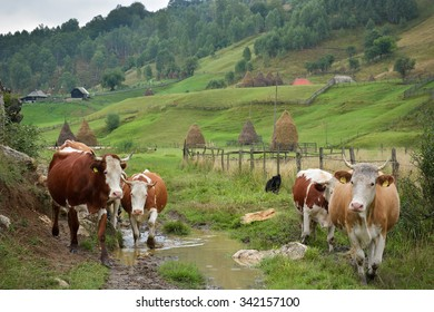 flock of cows on mountain pasture in autumn morning