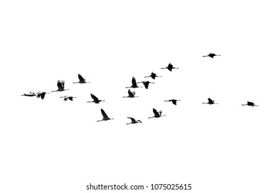 A flock of cranes in silhouette in flight