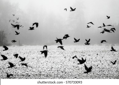 A flock of crows flying above the frozen field.