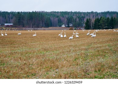 A Flock of Cygnus cygnus (Whooper Swan) on a field with a forest on a background.