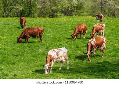 Flock with dairy cows on a meadow