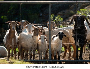 A flock of Damara sheep waiting by the farm gate looking at the camera
