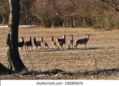 Flock of deers to coincide with the surroundings in spring