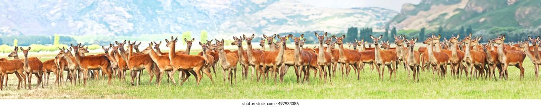 Flock of deers on the meadow. Panorama