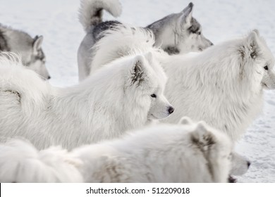 flock of dogs / Samoyed husky Group