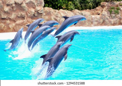 a flock of dolphins jump out of the water. dolphins show in the pool. eight dolphins jumping over the rope