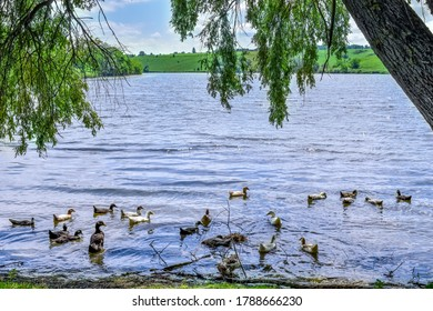 A flock of domestic ducks swims in the pond under the willow branches. Rural lake with waterfowl birds on a sunny spring summer day