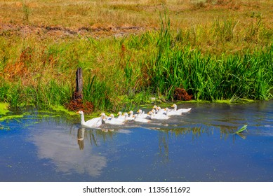 flock of domestic geese in the pond