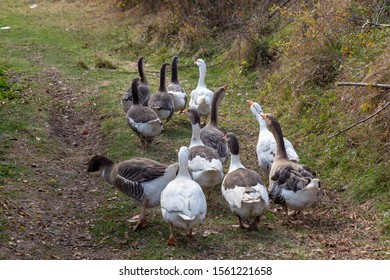 A flock of domestic geese. Rural landscape. White Geese walking on ground. Domestic bird. Duck and goose. Several ducks and geese on a pond. Family of home geese with orange beak and orange legs