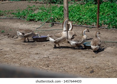 A flock of domestic geese walking along the sand near a wooden fence. Rural landscape. Geese are walking. Goose farm. Domestic goose. Geese on the chicken farm. Geese in the barnyard. The family of do