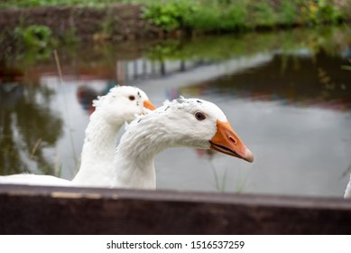 A flock of domestic white geese walk along the sand against a wooden fence. Rural landscape. White domestic Geese are walking. goose farm.Home goose. geese on poultry farm.geese on a farmyard