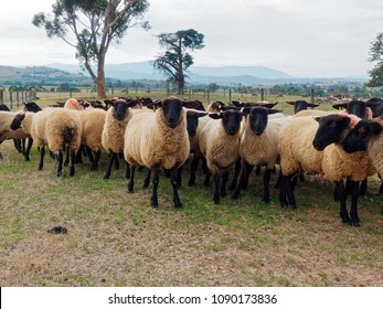 Flock of Dorper Blackhead Sheep looking.  Yarra Glen Sheep Farm,  Yarra valley,  Melbourne.